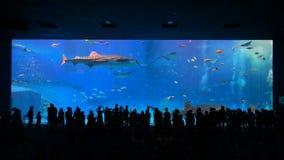 Okinawa Aquarium 4K with Beautiful Whale Sharks. stock video footage
