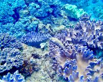 Okinawa coral reef sea life diving. Amazing coral Okinawa Royalty Free Stock Photography