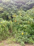 Okinawa Creek Flowers Photo libre de droits