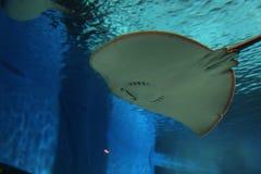 OKINAWA - 9 DE OCTUBRE: Okinawa Churaumi Aquarium en Okinawa, Japón el 9 de octubre de 2016 Imagen de archivo