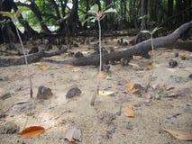 Knee roots in mangrove forests along Miyara river in Ishigaki, Okinawa. Okinawa,Japan-June 2, 2019: Knee roots in mangrove forests along Miyara river in Ishigaki stock photography