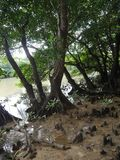 Knee roots in mangrove forests along Miyara river in Ishigaki, Okinawa. Okinawa,Japan-June 2, 2019: Knee roots in mangrove forests along Miyara river in Ishigaki royalty free stock photos