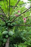 Okinawa Papaya Tree Foto de archivo libre de regalías