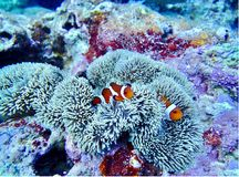 Okinawa sea underwater diving 2 clown fish coral. Amazing coral Okinawa scuba diving clean water fish ocean sea life Stock Photography