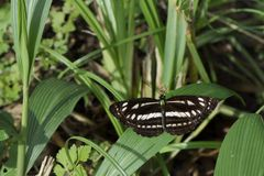 Okinawa three wire butterfly Royalty Free Stock Photos