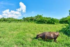Okinawan brown krowa Obrazy Royalty Free