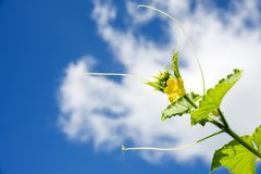 Okinawan yellow cucumber flower. And vine under sky with cloud Stock Image