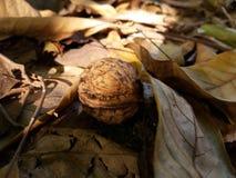 Okkernoot in een droog blad stock afbeeldingen
