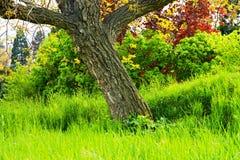 Okkernootboom Stock Afbeelding