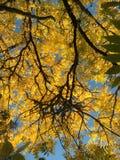 Okkernootboom in de herfst Stock Foto's