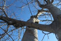 Okkernootboom en blauwe de lentehemel Royalty-vrije Stock Foto's