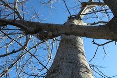 Okkernootboom en blauwe de lentehemel Stock Afbeelding