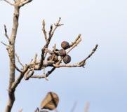 Okkernootboom met naakte takken Stock Foto's