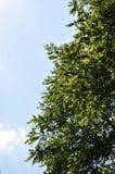 Okkernootboom tegen de Blauwe Hemel royalty-vrije stock foto