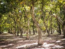 Okkernootboomgaarden in Centraal Californië royalty-vrije stock foto