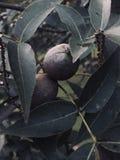 Okkernoten bij Schemer stock foto