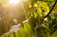 Okkernoten bij zonsondergang Royalty-vrije Stock Afbeelding