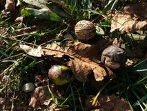 Okkernoten in de herfstgras stock afbeeldingen