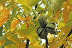 Okkernoten op de boom Stock Afbeelding