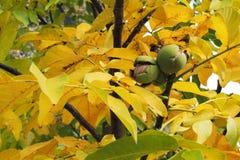Okkernoten op de boom Stock Fotografie