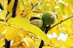 Okkernoten op de boom Stock Foto