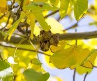 Okkernoten op een boom Stock Afbeelding