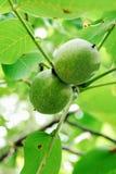Okkernoten op een boom Stock Fotografie