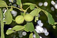 Okkernoten op een boom Royalty-vrije Stock Fotografie