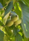 Okkernoten op een boom Royalty-vrije Stock Foto