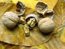 Okkernoten op gevallen bladeren Stock Foto