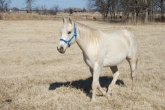 Oklahoma Arabian Horse. Photograph captured of a arabian walking through a pasture in Oklahoma stock image