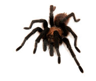 Oklahoma Brown Tarantula Royalty Free Stock Photo