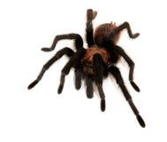 Oklahoma Brown Tarantula. Isolated on white Royalty Free Stock Photo