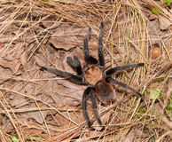 Oklahoma Brown tarantula Stock Image