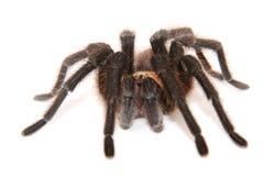 Oklahoma Brown tarantula on white background. Focus on eyes Stock Photography