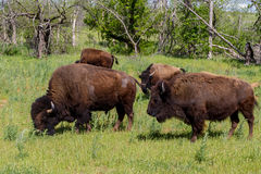 Oklahoma Buffalo, or American Bison. Royalty Free Stock Image