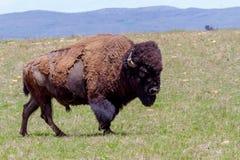 Oklahoma Buffalo, or American Bison. An Iconic Wild Western Symbol - the American Bison (Bison bison), also Known as the American Buffalo, Living on the Range Stock Photo