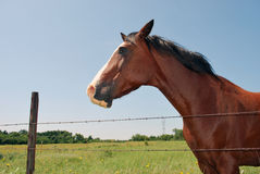 Oklahoma Horse Headshot. A photograph of a horse standing behind a barbed wire fence in a Oklahoma field royalty free stock photos
