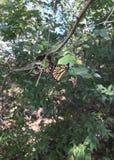 Oklahoma monarcha Obrazy Stock