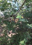 Oklahoma Monarchs. Monarch butterflies migrate from Canada to Mexico crossing into Oklahoma around the end of September through middle October. It is one of the stock images