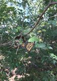 Oklahoma Monarchs. Monarch butterflies migrate from Canada to Mexico crossing into Oklahoma around the end of September through middle October. It is one of the royalty free stock images