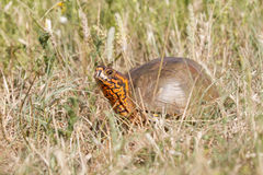 Oklahoma Ornate Box Turtle Stock Photos