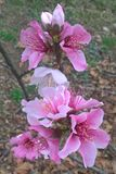 Oklahoma Peach Blossoms. Stratford Oklahoma is famous for it`s fruit trees. The peach trees produce beautiful, pink blossoms that bloom early in the spring stock image