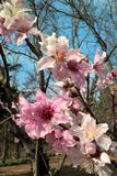 Oklahoma Peach Blossoms stock images