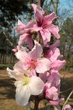 Oklahoma Peach Blossoms. Stratford Oklahoma is famous for it`s fruit trees. The peach trees produce beautiful, pink blossoms that bloom early in the spring royalty free stock photography