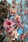 Oklahoma Peach Blossoms. Stratford Oklahoma is famous for it`s fruit trees. The peach trees produce beautiful, pink blossoms that bloom early in the spring royalty free stock photo
