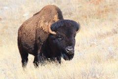 Oklahoma plains il bufalo Fotografia Stock
