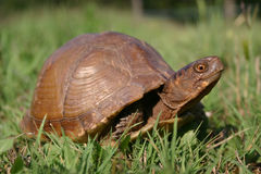 oklahoma sköldpadda Arkivfoto