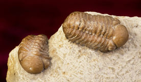 Oklahoma Trilobites. Stock Photo