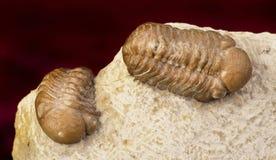 Oklahoma Trilobites. Oklahoma Trilobites of the Devonian formation around 360 million years old Stock Photo